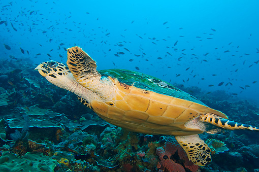 REP 08 JM0007 01 © Kimball Stock Green Sea Turtle Swimming In Coral Reef Indonesia