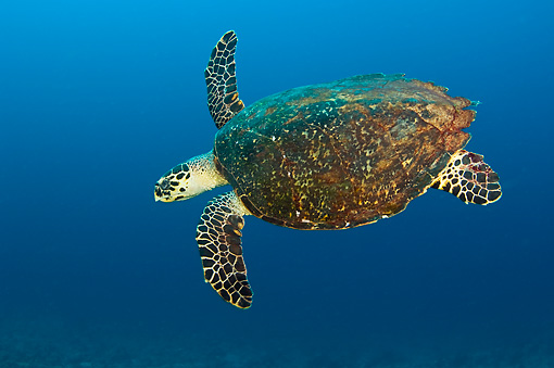 REP 08 JM0008 01 © Kimball Stock Green Sea Turtle Swimming In Coral Reef Indonesia