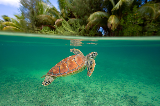 REP 08 KH0001 01 © Kimball Stock Grean Sea Turtle Swimming In Lagoon