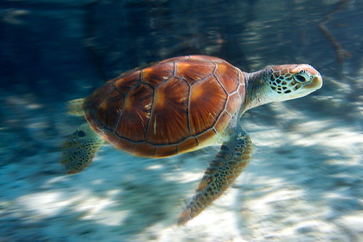 REP 08 KH0003 01 © Kimball Stock Grean Sea Turtle Swimming In Lagoon