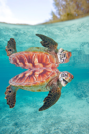 REP 08 KH0006 01 © Kimball Stock Grean Sea Turtle Swimming In Lagoon
