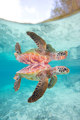 REP 08 KH0007 01 © Kimball Stock Grean Sea Turtle Swimming In Lagoon