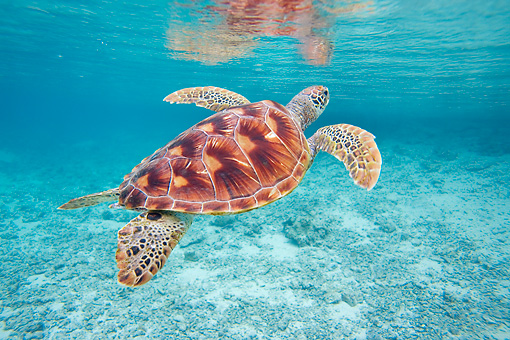 REP 08 KH0009 01 © Kimball Stock Grean Sea Turtle Swimming In Lagoon