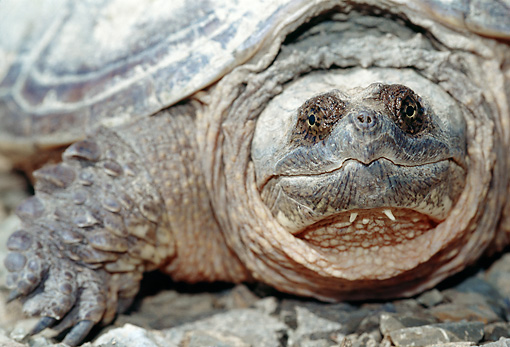 REP 08 MC0002 01 © Kimball Stock Portrait Of Common Snapping Turtle Florida