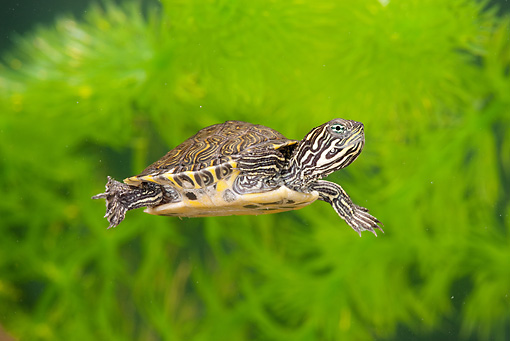 REP 08 MC0003 01 © Kimball Stock River Cooter Hatchling Swimming Underwater