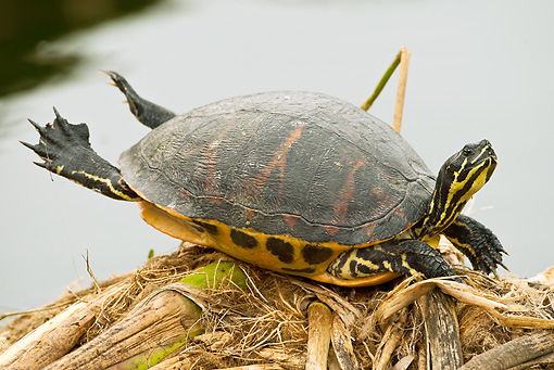 REP 08 MC0005 01 © Kimball Stock Florida Red-Bellied Turtle Sunning In Everglades
