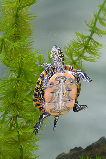 REP 08 MC0006 01 © Kimball Stock Midland Painted Turtle Swimming Underwater In Great Lakes