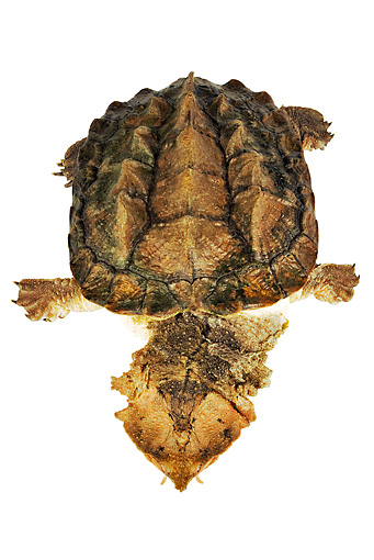REP 08 MH0002 01 © Kimball Stock Overhead View Of Mata Mata Turtle In Studio