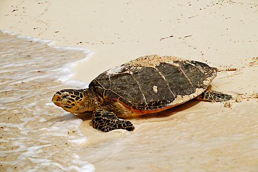 REP 08 MH0004 01 © Kimball Stock Hawksbill Turtle On Beach Heading Back To Sea