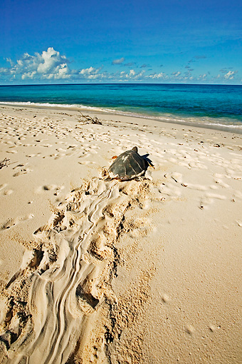 REP 08 MH0007 01 © Kimball Stock Overhead View Of Hawksbill Turtle Heading Back To Sea