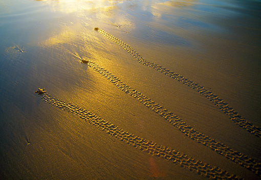 REP 08 MH0008 01 © Kimball Stock Overhead View Of Loggerhead Sea Turtles Walking Across Sand On South African Coast