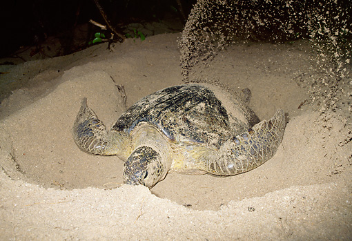 REP 08 MH0009 01 © Kimball Stock Green Sea Turtle Digging Nest In Sand To Lay Eggs