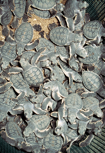 REP 08 MH0012 01 © Kimball Stock Green Sea Turtle Hatchlings In Nest