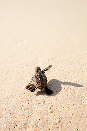 REP 08 MH0015 01 © Kimball Stock Hawksbill Turtle Hatchling Heading Down Beach Toward Sea On Cousine Island, Seychelles