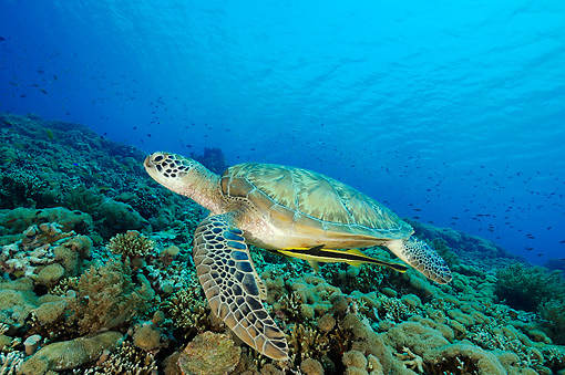REP 08 WF0001 01 © Kimball Stock Green Sea Turtle Swimming In Coral Reef With Attached Live Suckerfish