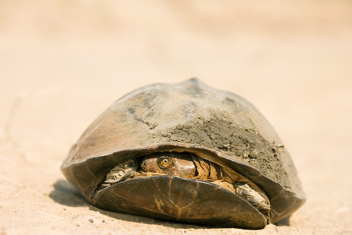 REP 08 WF0002 01 © Kimball Stock East African Black Mud Turtle With Head Inside Shell On Sand