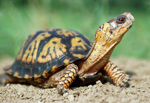 REP 08 GR0001 01 © Kimball Stock Eastern Box Turtle Sitting On Dirt Neck Stretched Out