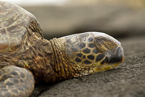 REP 08 JM0005 01 © Kimball Stock Profile Head Shot Of Green Sea Turtle Laying On Beach Hawaii