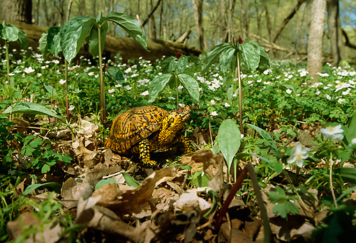 REP 08 LS0001 01 © Kimball Stock Eastern Box Turtle Standing On Forest Floor
