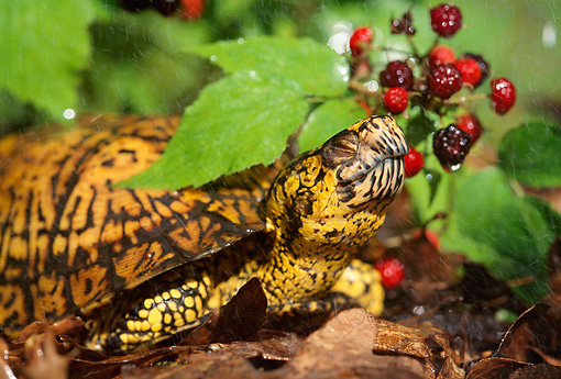 REP 08 LS0002 01 © Kimball Stock Eastern Box Turtle Laying Under Leaf On Forest Floor