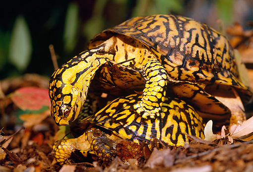 REP 08 LS0004 01 © Kimball Stock Eastern Box Turtles Mating On Forest Floor
