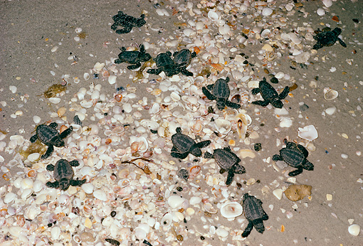 REP 08 LS0006 01 © Kimball Stock Loggerhead Sea Turtle Hatchlings Leaving Nest On Beach