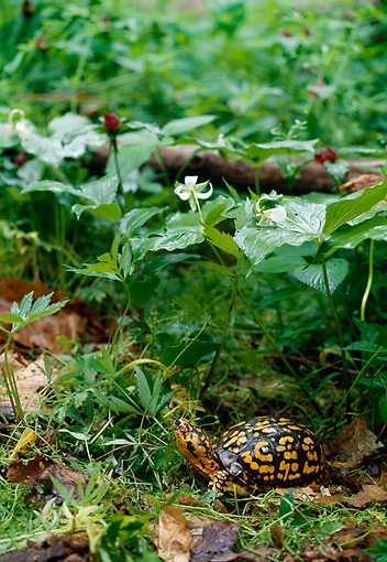 REP 08 LS0008 01 © Kimball Stock Eastern Box Turtle Standing On Forest Floor