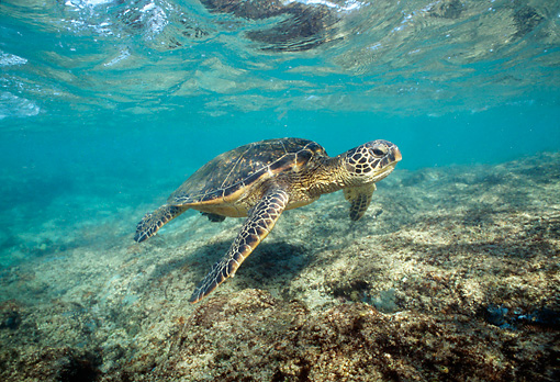REP 08 TL0001 01 © Kimball Stock Green Sea Turtle Swimming In Shallow Water Hawaii