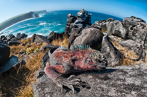 REP 09 AC0010 01 © Kimball Stock Marine Iguana Climbing Rock On Hispanola Island, Galapagos Islands, Ecuador