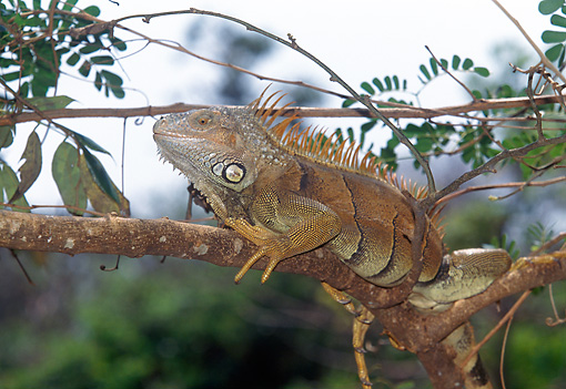 REP 09 GL0002 01 © Kimball Stock Green Iguana Sitting On Tree Branch