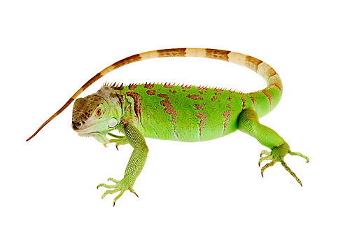 REP 09 MH0001 01 © Kimball Stock Overhead View Of Green Iguana Standing In Studio