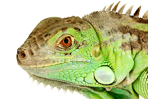 REP 09 MH0002 01 © Kimball Stock Close Up Of Green Iguana In Studio