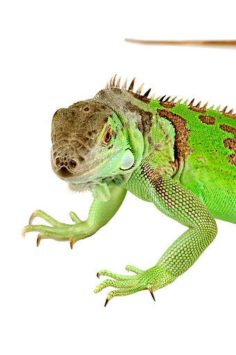 REP 09 MH0003 01 © Kimball Stock Close Up Of Green Iguana Standing In Studio