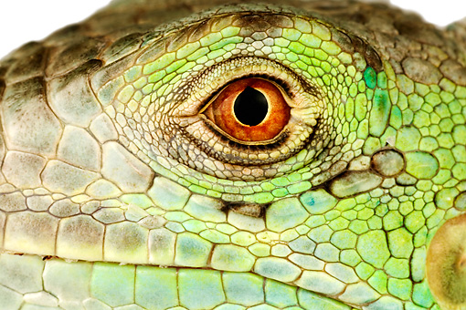REP 09 MH0004 01 © Kimball Stock Close Up Of Green Iguana Eye In Studio