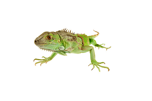 REP 09 MH0006 01 © Kimball Stock Front View Of Green Iguana Laying In Studio