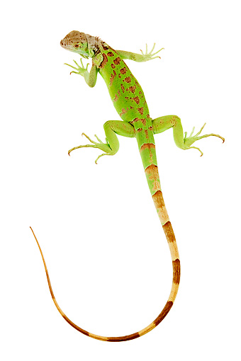 REP 09 MH0007 01 © Kimball Stock Overhead View of Green Iguana With Tail In Studio