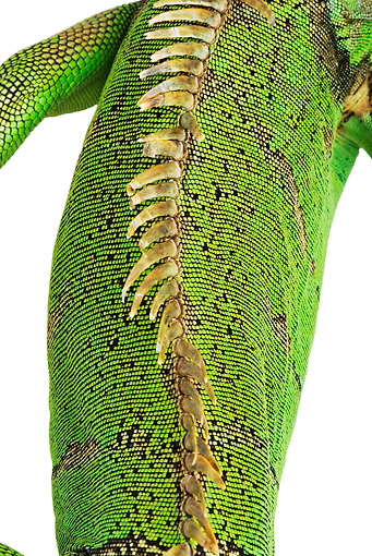 REP 09 MH0008 01 © Kimball Stock Overhead View Of Spine Of Green Iguana In Studio