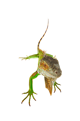 REP 09 MH0009 01 © Kimball Stock Overhead View Of Green Iguana Standing In Studio