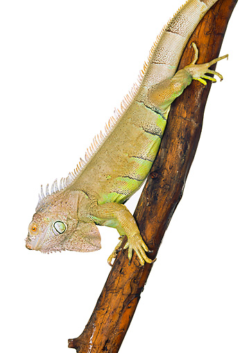 REP 09 RK0002 02 © Kimball Stock Close Up Of Green Iguana On Branch White Seamless