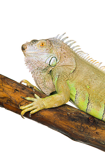 REP 09 RK0003 03 © Kimball Stock Head Shot Of Green Iguana On Branch White Seamless