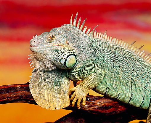 REP 09 RK0009 15 © Kimball Stock Close Up Of Iguana On Branch Sunset Background
