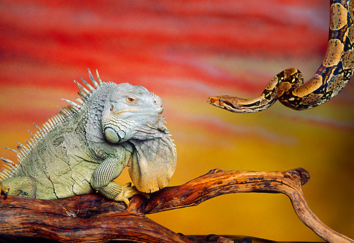 REP 09 RK0010 22 © Kimball Stock Iguana And Snake