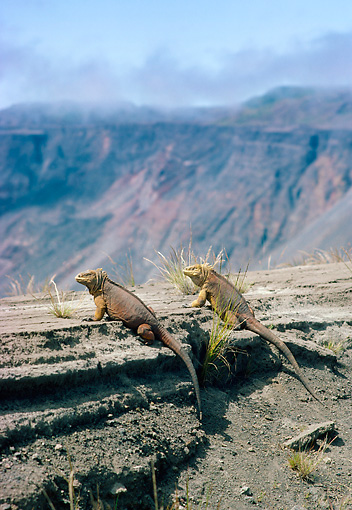 REP 09 WF0007 01 © Kimball Stock Two Galapagos Land Iguanas Sitting At Edge Of Cliff