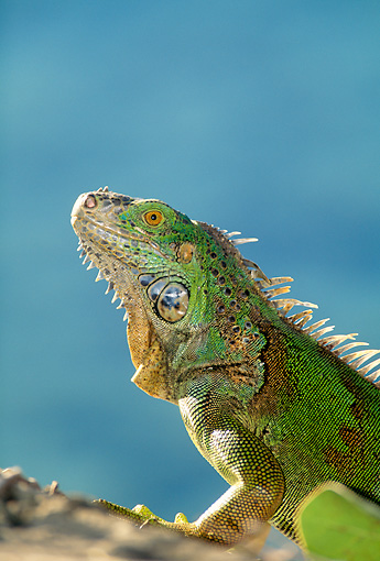 REP 09 DB0003 01 © Kimball Stock Profile Head Shot Of Iguana Laying On Rock