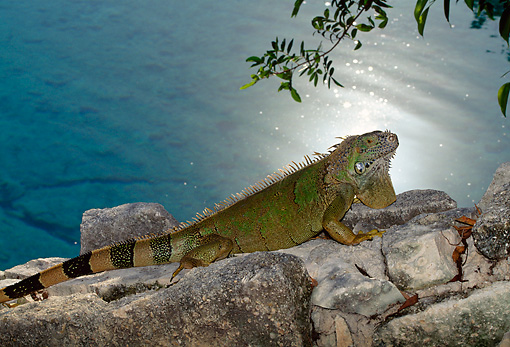 REP 09 DB0004 01 © Kimball Stock Profile Of Iguana Laying On Rock Near Water