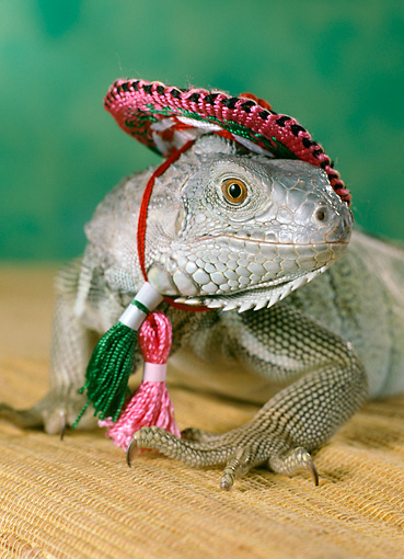 REP 09 RC0001 01 © Kimball Stock Close-Up Of Humorous Iguana Wearing Pink Hat Studio