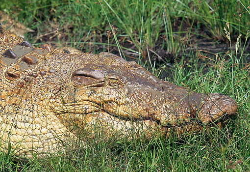 REP 11 GL0001 01 © Kimball Stock Head Shot Of Saltwater Crocodile Laying In Grass