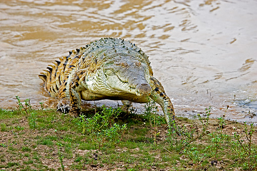 REP 11 GL0003 01 © Kimball Stock Orinoco Crocodile Emerging From River Venezuela