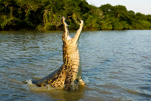 REP 11 GL0005 01 © Kimball Stock Spectacled Caiman Leaping Out Of Water With Mouth Open Venezuela