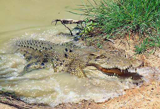 REP 11 GL0006 01 © Kimball Stock Saltwater Crocodile Emerging From Water Australia